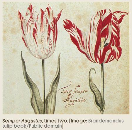 17세기 네덜란드 튤립투기 때 집 한채값이었다는 셈페르 아우구스투스.