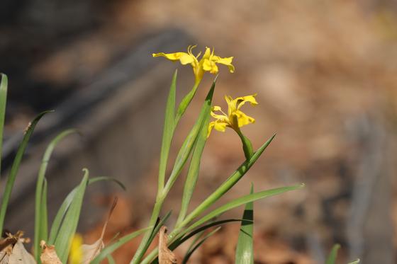 경북 봉화군에서 발견된 노랑붓꽃. [사진 국립백두대간수목원]