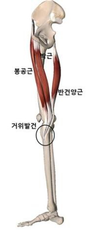 거위발건을 이루는 근육. [자료 유재욱]