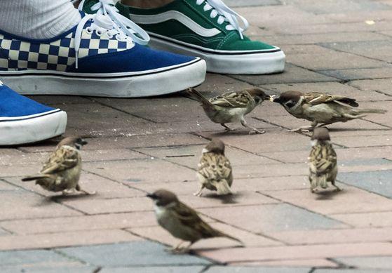 서울 중구 덕수궁 돌담길에서 떨어진 빵 조각을 먹기 위해 참새들이 사람들 발아래까지 몰려 들었다. 김성룡 기자