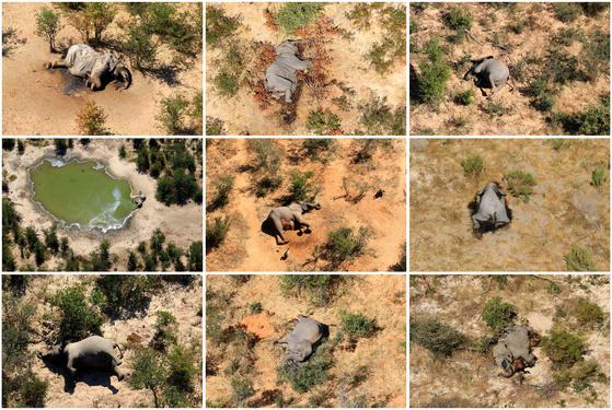 전 세계에서 코끼리가 가장 많이 살고 있는 아프리카 보츠와나에서 지난 5~6월 약 350마리의 코끼리가 죽은 채 발견됐다. [로이터=연합뉴스]
