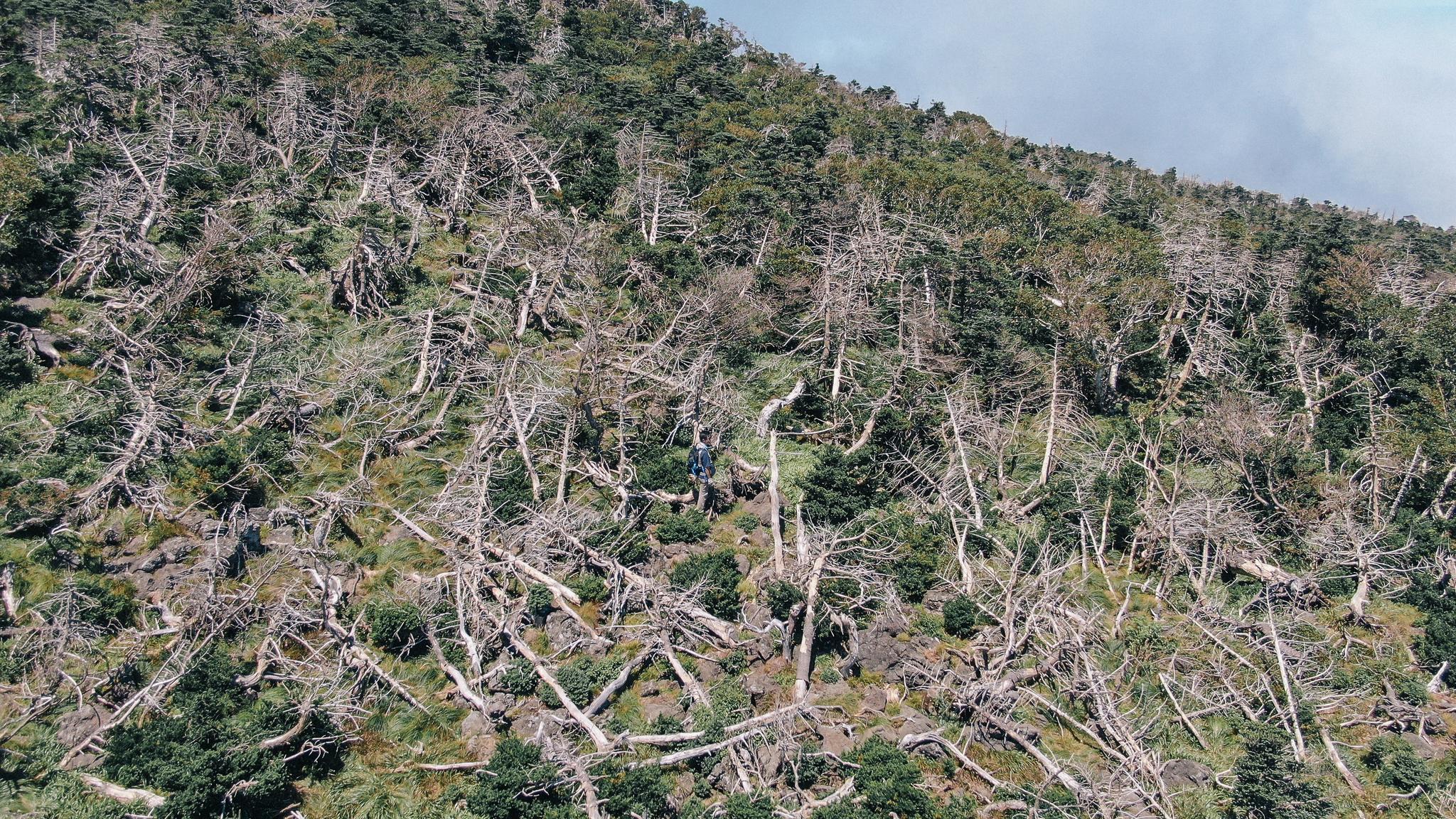 한라산 성판악 등산로 1700m 고지 주변에 구상나무가 집단으로 고사한 모습. 조현우 사진작가