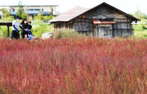 완연한 가을 날씨를 보인 25일 경기도 시흥시 갯골생태공원을 찾은 시민들이 붉게 물들어가는 칠면초 사이를 걷고 있다. 연합뉴스