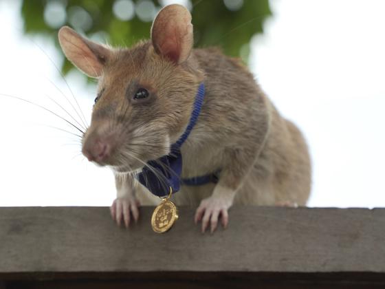 용감한 동물상 금메달을 목에 건 마가와. [PDSA 홈페이지 캡처]
