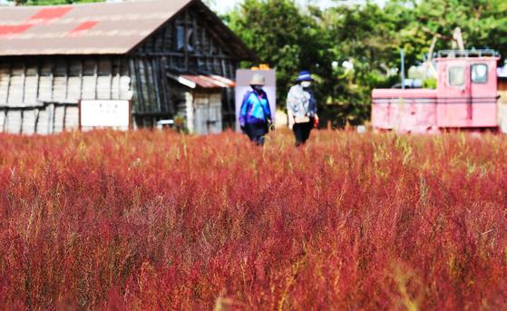 완연한 가을 날씨를 보인 지난 25일 경기도 시흥시 갯골생태공원을 찾은 시민들이 붉게 물들어가는 칠면초 사이를 걷고 있다. 연합뉴스