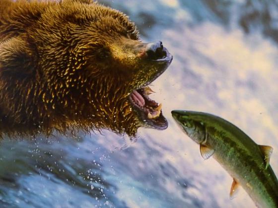 알래스카는 곰이 연어를 잡는 풍경을 즐겨 볼 수 있는 곳이다. 그중에서도 알류샨 열도와 러시안 리버가 대표적이다. 강 이름은 알래스카가 한때 러시아 땅이었음을 알려준다. [사진 pxhere]