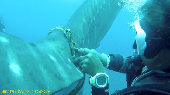 2020년 6월 태국 고타오섬 인근에서 꼬리에 밧줄이 묶인 고래상어가 발견됐다. 해양과학자들이 고래상어를 풀어주기 위해 밧줄을 자르고 있다. [사라콘 포카프라칸=로이터]