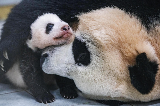 태어난 지 60일 된 아기 판다와 엄마 아이바오 [사진 에버랜드]