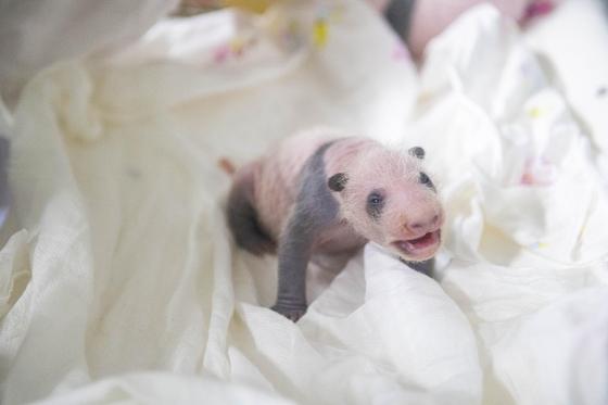 태어난 지 20일 된 아기 판다의 모습 [사진 에버랜드]