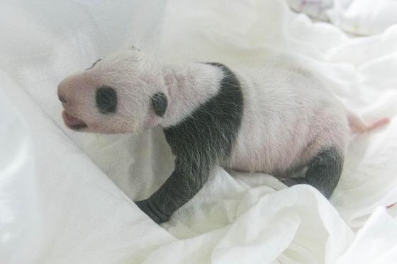 태어난 지 30일 된 아기 판다의 모습 [사진 에버랜드]