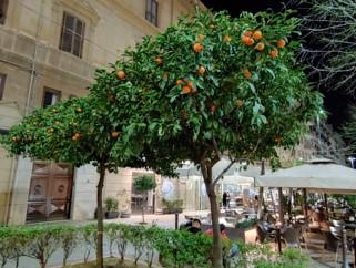 시칠리아의 주도 팔레르모 시내의 오렌지나무. [사진 한형철]