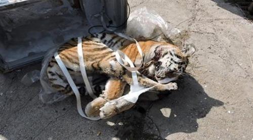 러시아 냉동차에서 발견된 아무르 호랑이. 연합뉴스