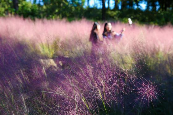 젊은 여행자 사이에서 인생 사진 명소로 꼽히는 휴애리 자연생활공원. 핑크뮬리가 널리 뿌리내려 있다. [사진 제주관광공사]