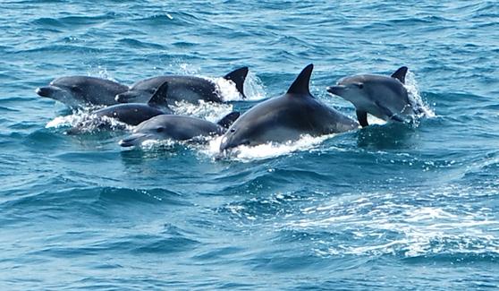 지난 4월 28일 오전 제주 서귀포시 대정읍 앞바다에서 남방큰돌고래들이 떼지어 헤엄치고 있다. 연합뉴스