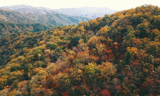 강원 평창군 진부면 오대산 국립공원 월정사 주변의 단풍이 곧게 물들고 있다. 연합뉴스
