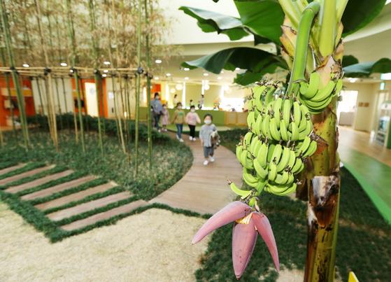20일 경북 포항 포스코 본사에 있는 동촌어린이집에 있는 바나나나무에서 바나나가 열려 있다. 포스코 제공=연합뉴스