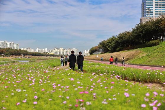 서울 금천구, 안양천에 메밀꽃, 코스모스 가득한 가을풍경길 조성