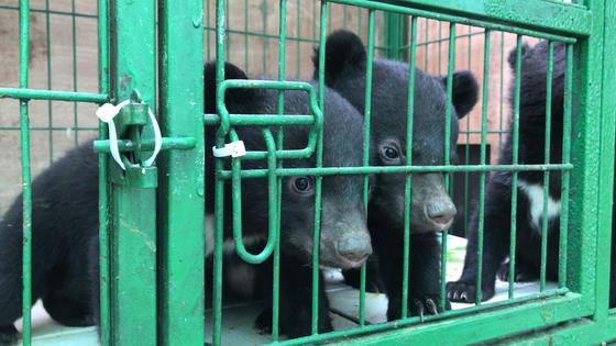 불법증식된 새끼곰들. 멸종위기종인 반달가슴곰이다. 녹색연합