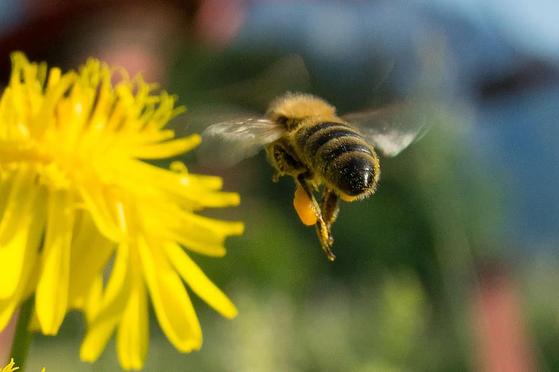 꿀벌은 꽃 꿀을 발견하고는 공중에서 춤을 춘다. 사람 눈에는 8자 춤 같지만, 태양과 이루는 각도는 먹이가 있는 방향을 나타내며 춤추는 속도와 시간은 꿀이 얼마나 많은지 나타낸다. [사진 pikist]
