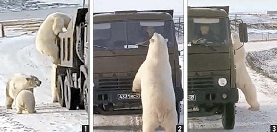 ① 새끼들이 보는 가운데 쓰레기 트럭에 올라타고 ② 트럭을 막아서고 ③ 심지어 차창 안 운전자 쪽으로 고개를 들이미는 북극곰. '먹이를 구하려는 행위'로 보인다. [시베리아 타임스 캡처]