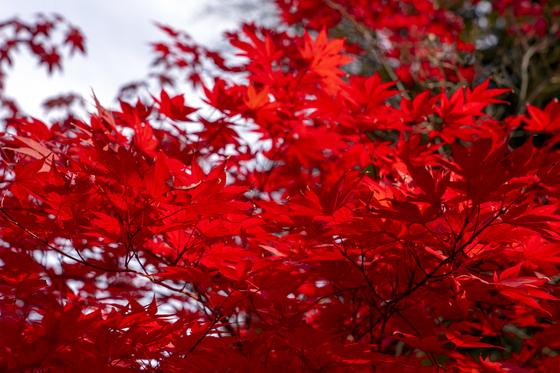 상원사 초입에서 만난 단풍. 불타오르듯 색이 선명하다.