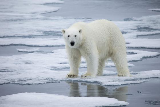 노르웨이 스발바드 인근 바다 얼음 위에 북극곰이 올라서 있다. AFP=연합뉴스