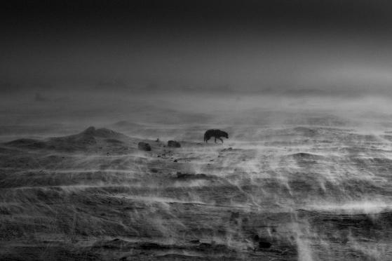 올해 '라이카 오스카 바르낙 어워드' 최종 후보 12명 중 한 명인 라그나 알렉손의 작품. ⓒ Ragnar Axelsson_Arctic Heroes-Where the world is melting