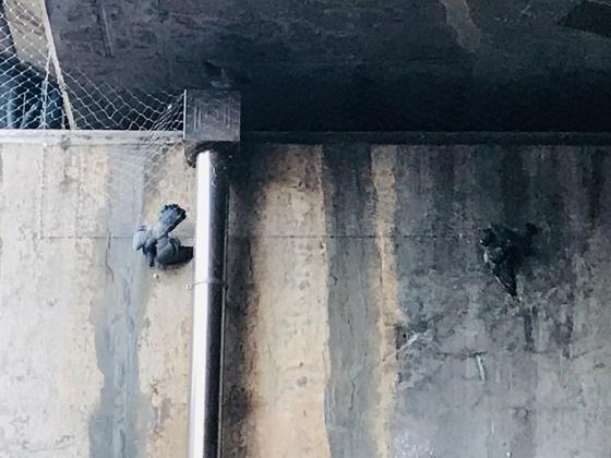 지난 18일 윤씨가 올린 트위터 사진. 비둘기 두 마리가 그물망에 끼어 움직이지 못하고 있다. 독자 제공.