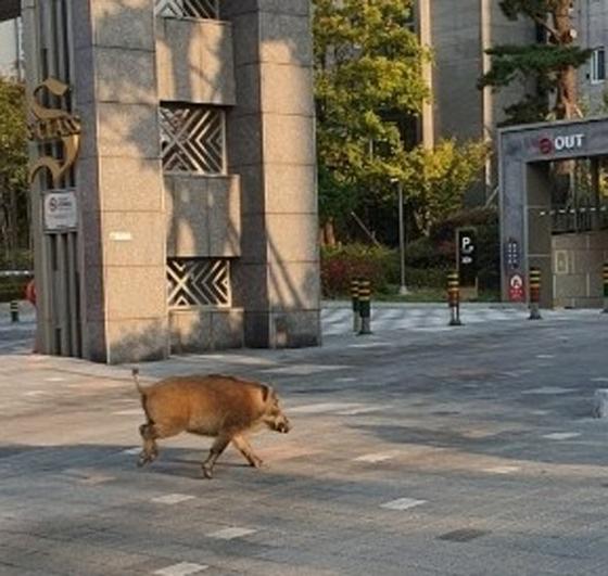 세종시 카이 같은 아파트에 출몰 한 멧돼지.연합 뉴스