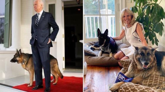 조 바이든의 당선으로 대통령의 애완견 '퍼스트 도그'도 부활할 것으로 보인다. 바이든은 독일 셰퍼드 견 두 마리를 키우고 있으며 그 중에서 '메이저'는 보호시설에서 데려온 개다. [트위터]