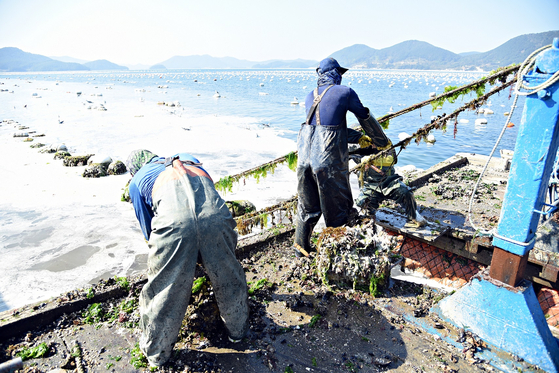 통영 지역에 있는 한 굴 양식장에서 어민들이 굴 수확 작업을 하고 있다. 사진 홈플러스