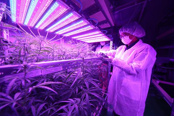 전북대 LED 식물공장에서 대마가 재배되고 있다. 사진 전북대