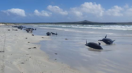 22일(현지시간) 뉴질랜드 채텀 제도의 한 해변에 표류한 고래와 돌고래들이 누워 있다. AFP=연합뉴스