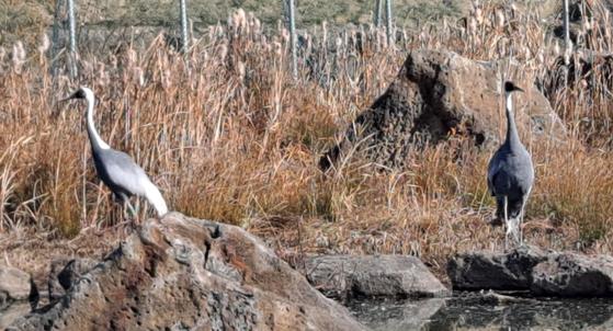 날개를 다쳐 날 수 없는 암컷을 두고 지난 6월 떠난 재두루미 부부의 수컷이 중국에서 다시 돌아와 재회했다고 철원군이 25일 밝혔다. 수컷의 등에 부착한 위치추적장치(GPS) 기록을 열어보니 중국에서 북한을 거쳐 다시 철원까지 1000㎞ 넘게 날아온 것으로 확인됐다. 사진은 철원에서 다시 만난 재두루미 부부. 왼쪽이 돌아온 수컷. 사진 철원군