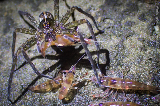 태국 북동부 우본랏차타니 지역의 강가에서 물 밖으로 나온 새우들이 거미의 습격을 받고 있다. 사진 와차라퐁 홍잠라실릅