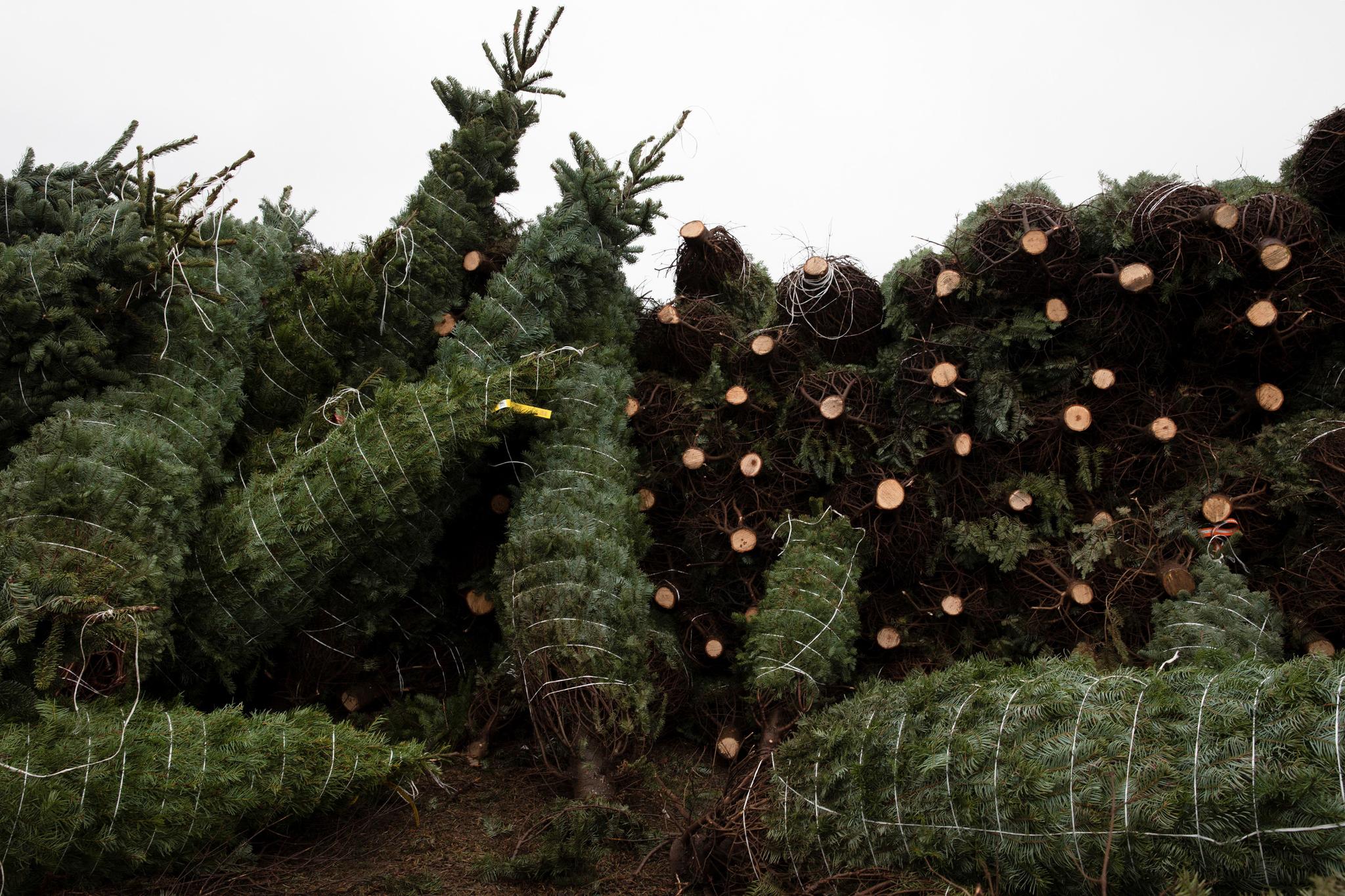 미국 오리건주 노블마운틴 트리 팜에서 생산한 크리스마스 트리가 29일(현지시간) 벌채돼 출하를 기다리고 있다. 노블 마운틴 나무 농장은 세계 최대의 크리스마스 트리 생산지로 매년 약 50만개의 크리스마스 트리를 판매한다. 로이터=연합뉴스