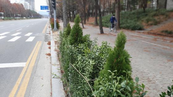 대전시가 최근 도로변에 심은 나무. 프리랜서 김성태