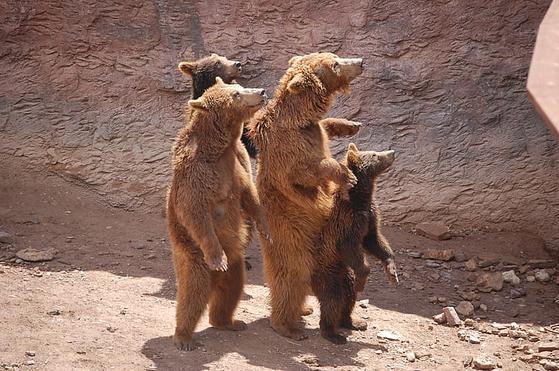 대부분의 식육목 동물이 발가락으로 보행하는데 곰은 사람과 같이 발바닥으로 보행하는 척행성(蹠行性)이다. 곰이 두발로 서서 균형을 잘 잡는 것도 발바닥으로 지탱하기 때문이다. [사진 pickpik]