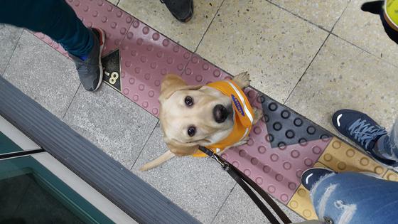 예비 안내견 시절 지하철에서 강현다씨에게 사회화 교육을 받고 있는 호가. 본인 제공