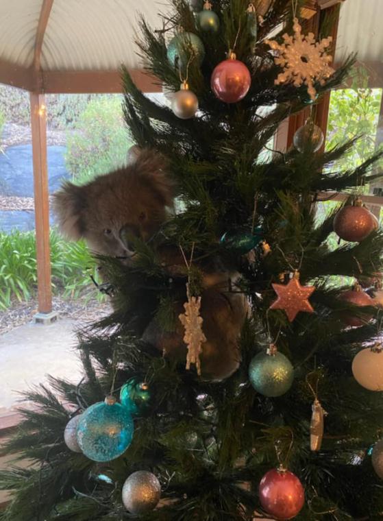 가정집 트리에 매달린 코알라…호주 네티즌 산타가 변장한 것