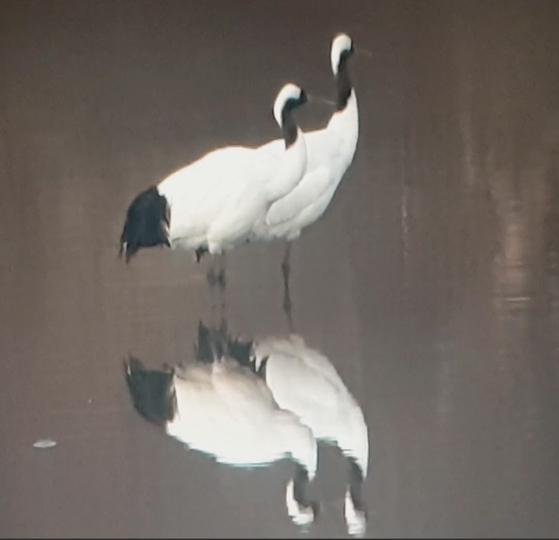 지난 5일 경기도 연천군 군남면 군남댐 하류 임진강에서 목격된 두루미 부부. 연천지역사랑실천연대