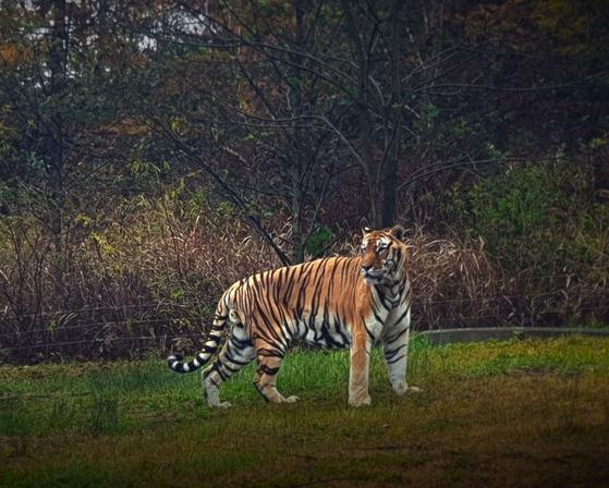 경북 봉화 국립백두대간수목원을 호령한 백두산호랑이 '두만'의 모습. [사진 국립백두대간수목원]