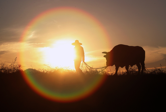 2021년 신축년(辛丑年) 소의 해를 앞두고 경북 청도군 우림목장에서 목장주 예병권씨와 싸움소 '아리랑'이 훈련을 위해 솟아오르는 해를 맞이하며 이동하고 있다. 뉴스1
