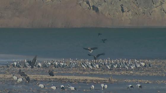 """독수리를 안고있는 600 마리의 학 … """"비범 한 광경""""무슨 일이 있었는지[영상]"""