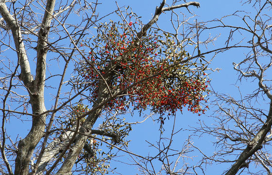 한라산 해발 1300m 지점에서 발견한 겨우살이. 육지의 겨우살이는 열매가 노란데, 제주도 겨우살이는 열매가 빨간 것도 있다. 손민호 기자