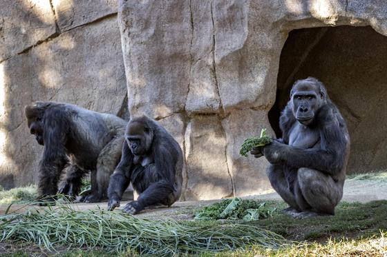 미국 샌디에이고 동물원에서 고릴라가 코로나19에 집단 감염된 사실이 확인됐다. EPA=연합뉴스