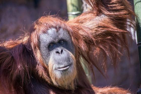 지난 9일 61년간의 생을 마감한 수마트라 오랑우탄 인지. 오리건 동물원에서 60년간 생활한 인지는 세계에서 가장 나이가 많은 오랑우탄이었다고 외신은 전했다. [미국 오리건 동물원 홈페이지]