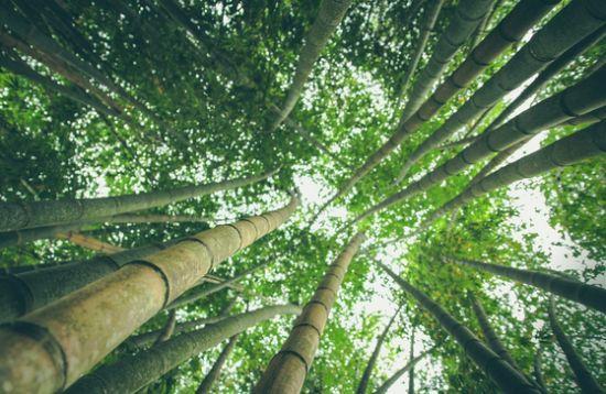 대나무는 이름에 나무가 들어가 있어 나무로 착각하기 쉽지만, 실제로는 나무가 아니라 풀 종류에 속한다. [사진 pixabay]