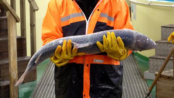 강원도 환동해본부 한해성수산자원센터에서 양식 연구 중인 대서양연어. 길이가 1m에 육박한다. 왕준열PD
