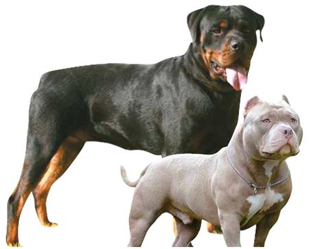 로트와일러(左), 아메리칸 핏불테리어(右)